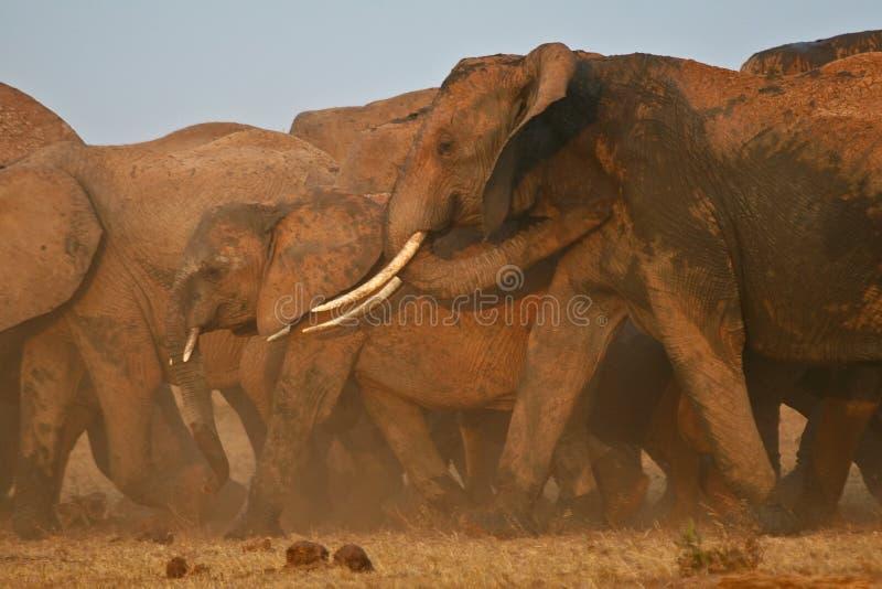 Éléphants sur le mouvement photos libres de droits