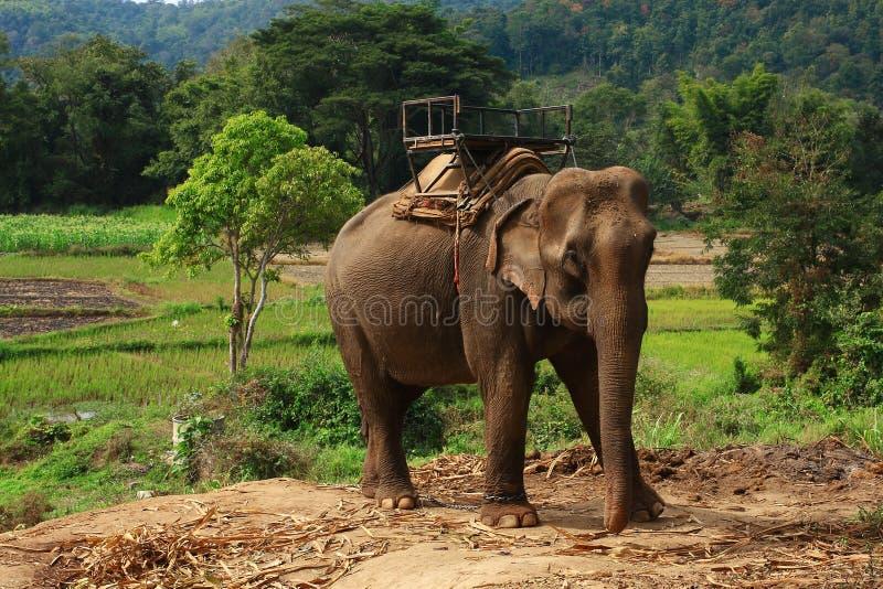 Éléphants thaïlandais photographie stock libre de droits
