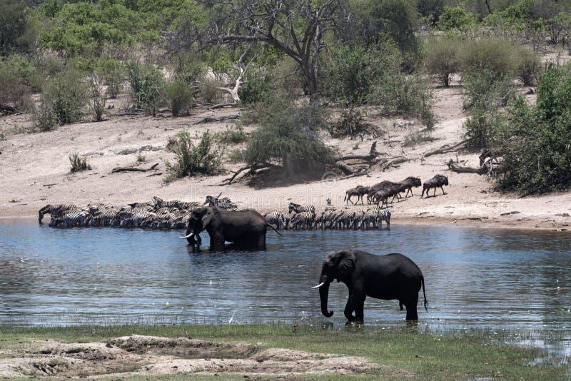 Éléphants, zèbres et gnou sur la rivière de Boteti dans Makgadikgadi photos stock