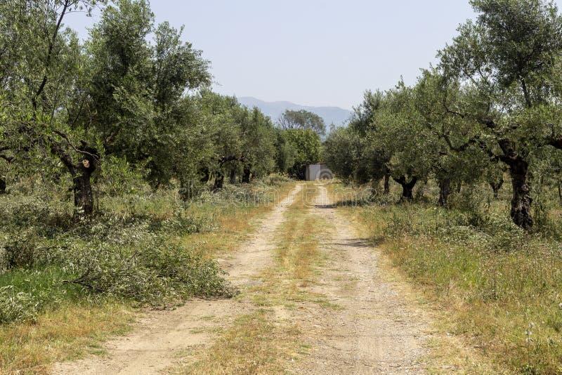 Élagage des oliviers Péloponnèse, Grèce images libres de droits