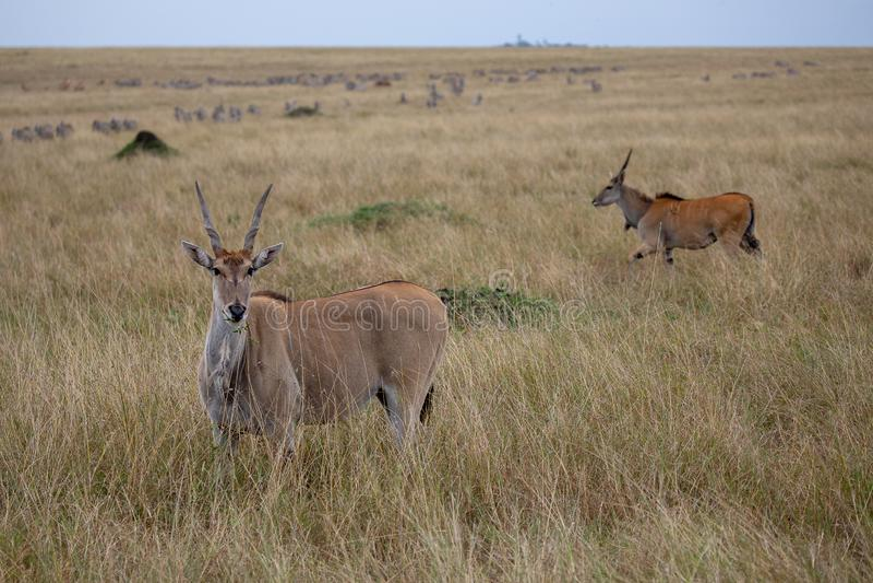 Éland, Masai Mara, Kenya, Afrique photographie stock