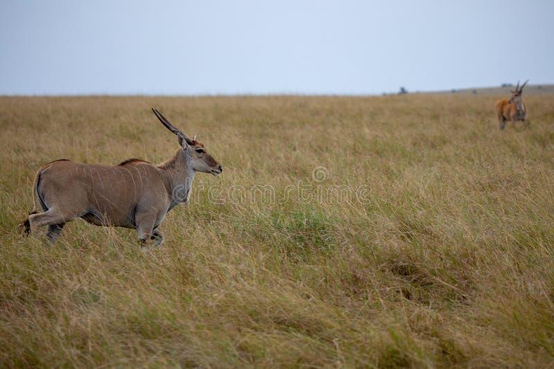 Éland, Masai Mara, Kenya, Afrique images libres de droits