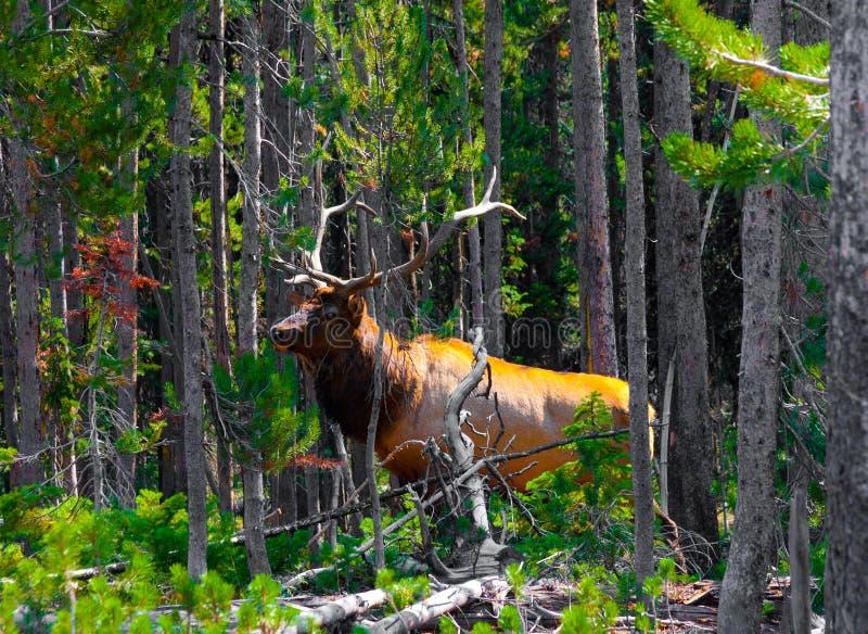 Élans dans la jungle en parc national de Yellowstone photo libre de droits