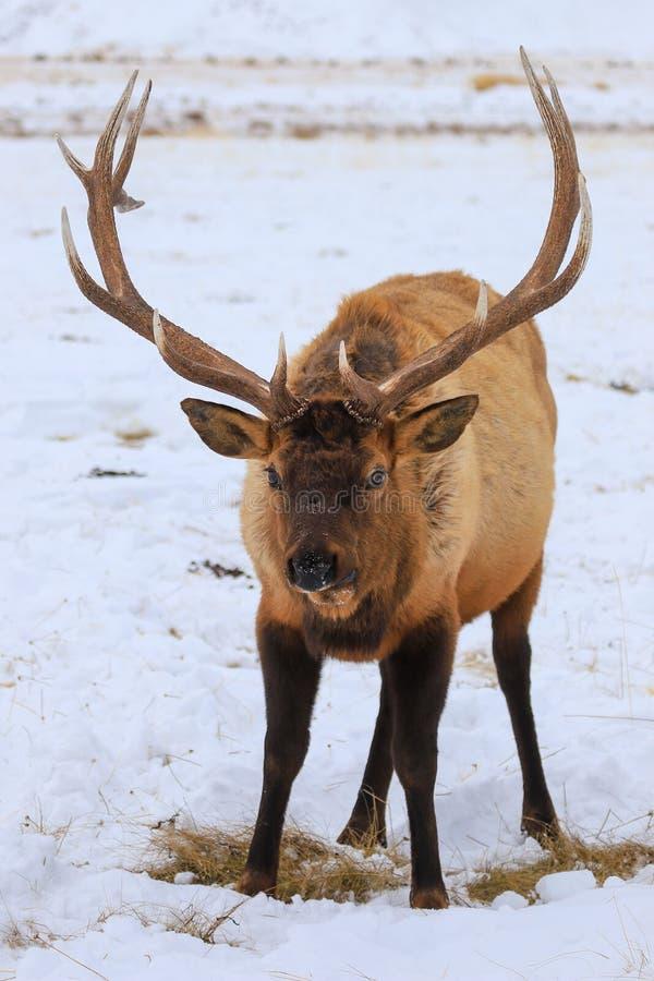 Élans de Taureau avec de grands andouillers dans le pré neigeux photo libre de droits
