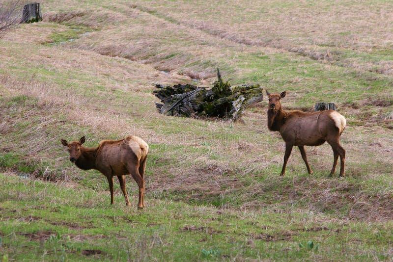 Élans sauvages en Idaho images stock