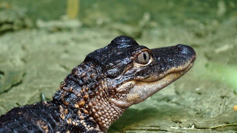 Élevage artificiel, non long, crocodile du Nil, petit crocodile images libres de droits