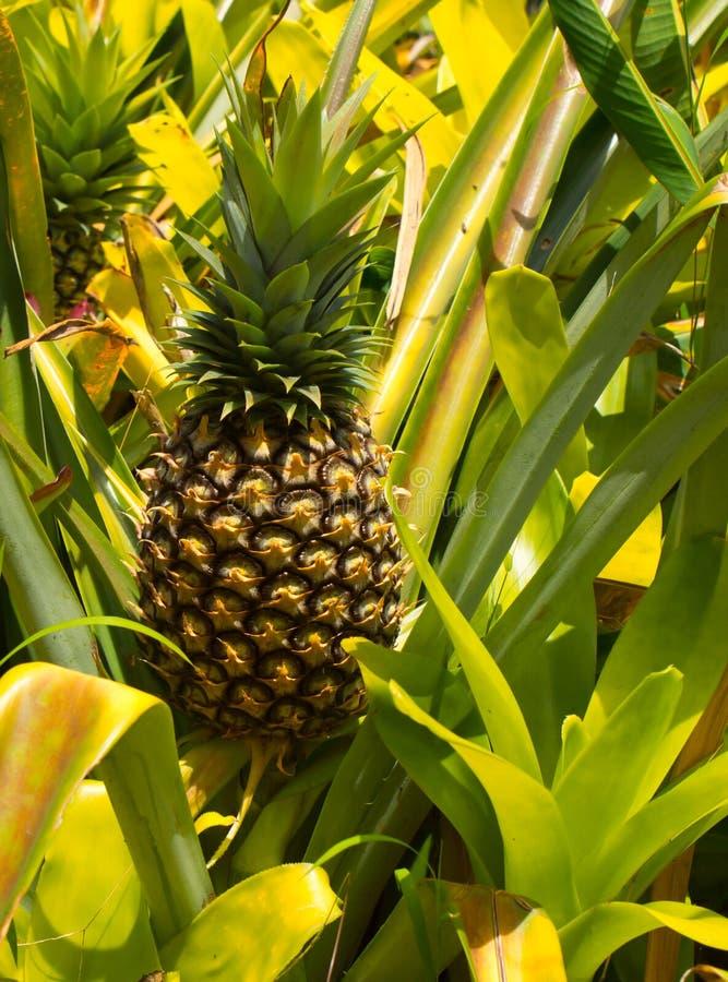 Élevage d'ananas photos libres de droits