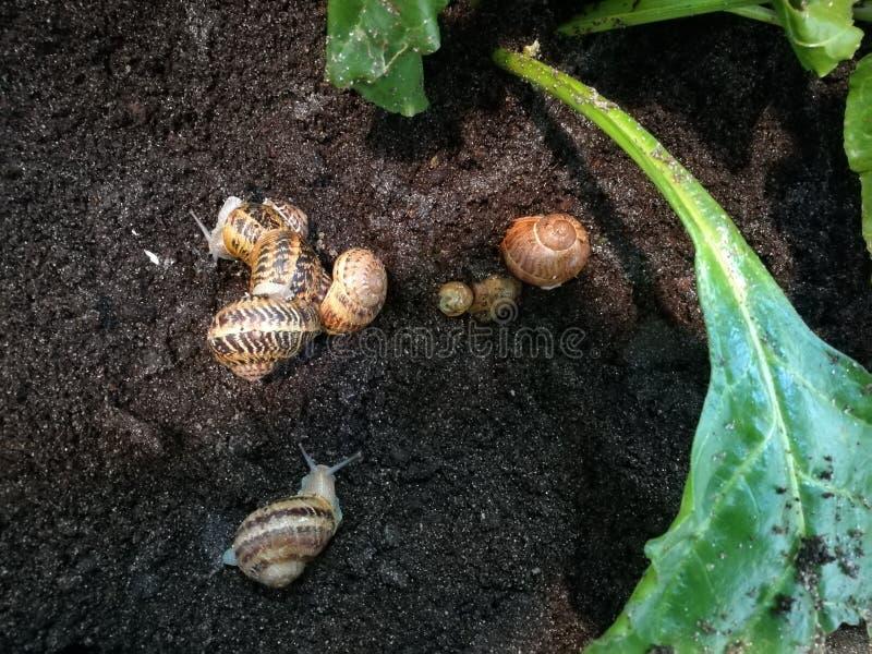 Élevage d'escargot image stock