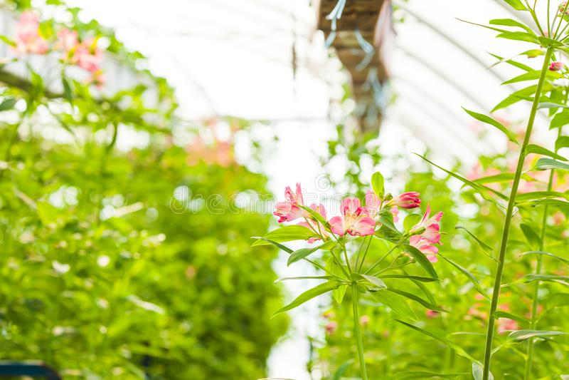 Élevage d'une fleur d'alstroemeria en serre chaude photos libres de droits