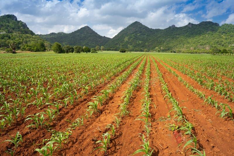 Élevage de champ de maïs de bébé images libres de droits