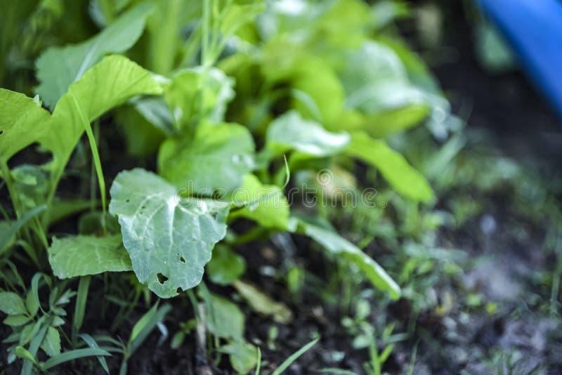 Élevage de feuilles de coriandre image stock