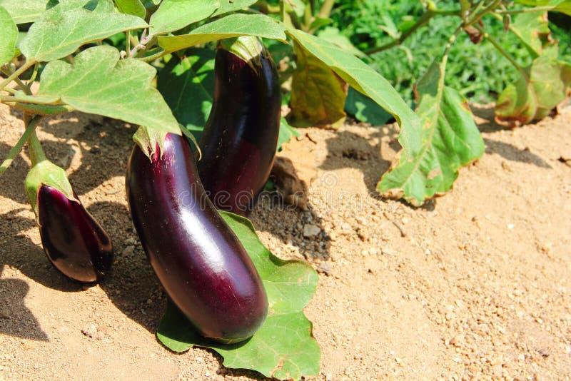 Élevage de fruits d'aubergine dans le jardin photo libre de droits