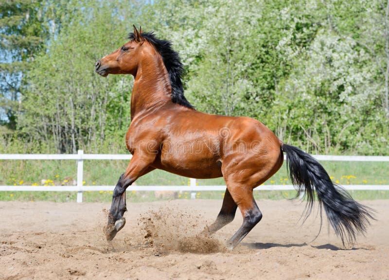 Élevage De L étalon De Baie De La Race Ukrainienne D équitation Photographie stock