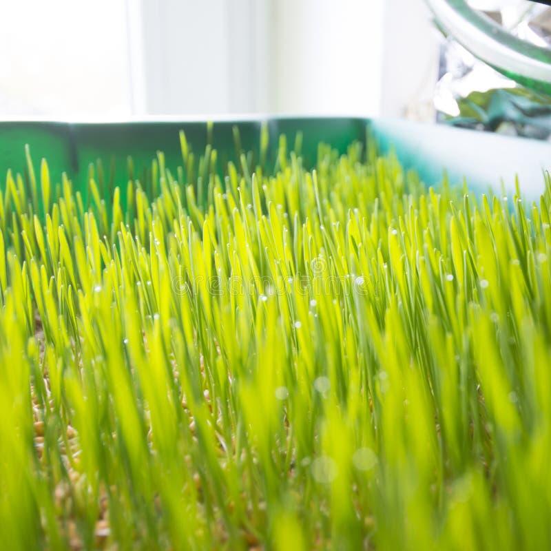 Élevage de Wheatgrass photos libres de droits