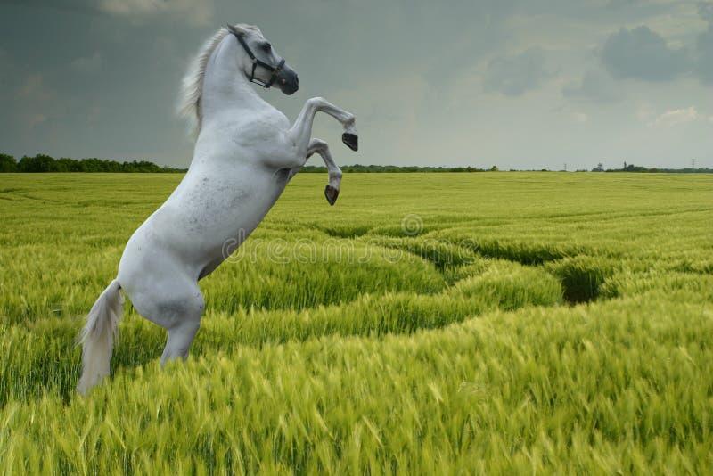 Élevage gris dans le domaine de blé photo stock