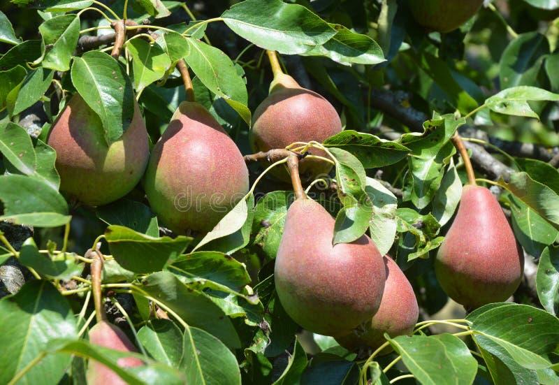 Élevage pour les trois poires rouges fraîches juteuses dans le jardin photographie stock libre de droits