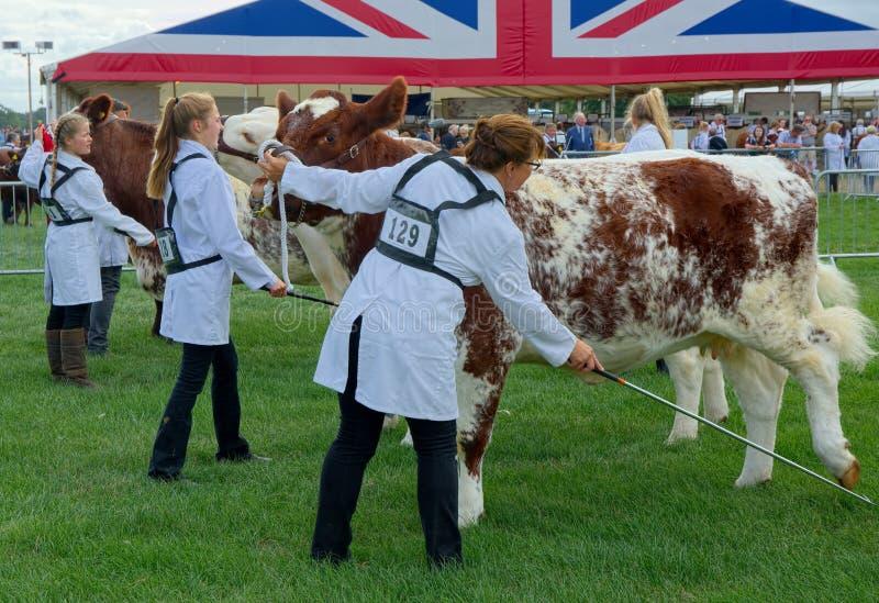 Élevez les vaches étant préparées pour juger au salon de l'agriculture R-U photos stock