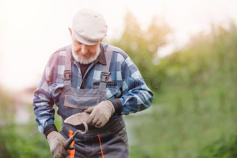 Élimination des mauvaises herbes du sol des pommes de terre, homme plus âgé supérieur utilisant la houe dans le potager images stock