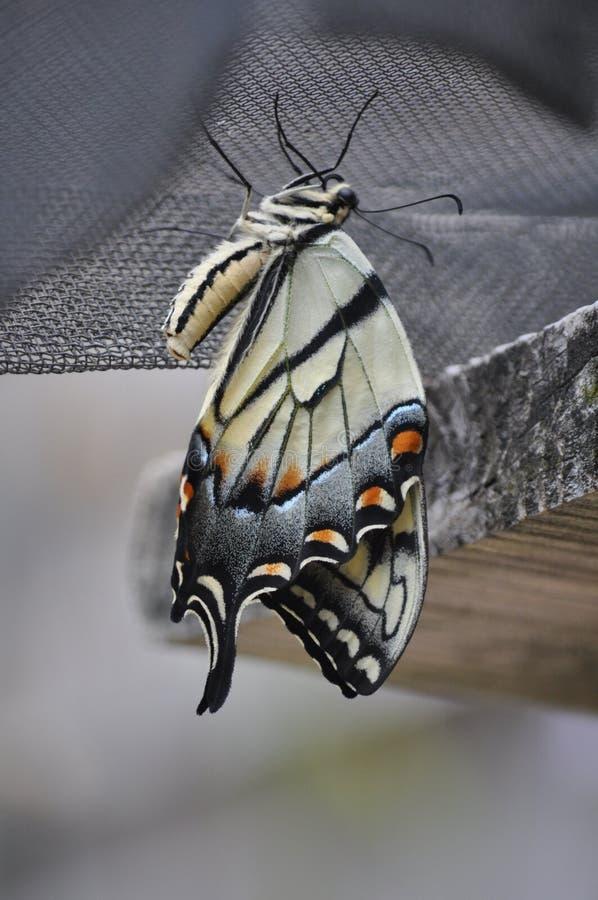 Émergence de papillon image libre de droits