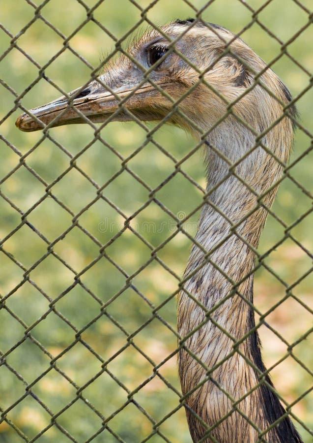 Émeu dans le zoo image libre de droits