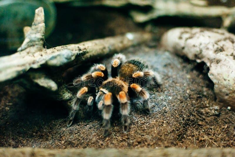 Énorme araignée de poitrine sur l'écorce au zoo image libre de droits
