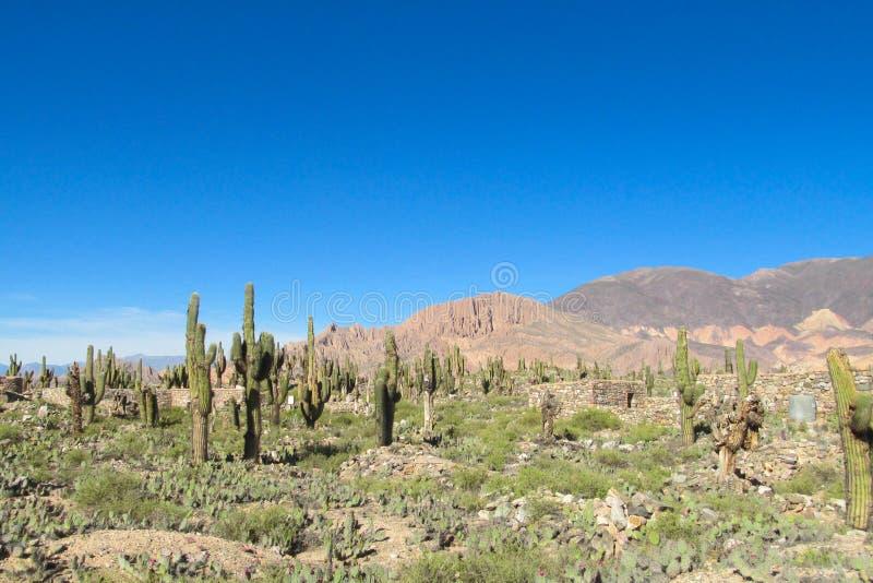 Énorme grand gisement de cactus photo stock