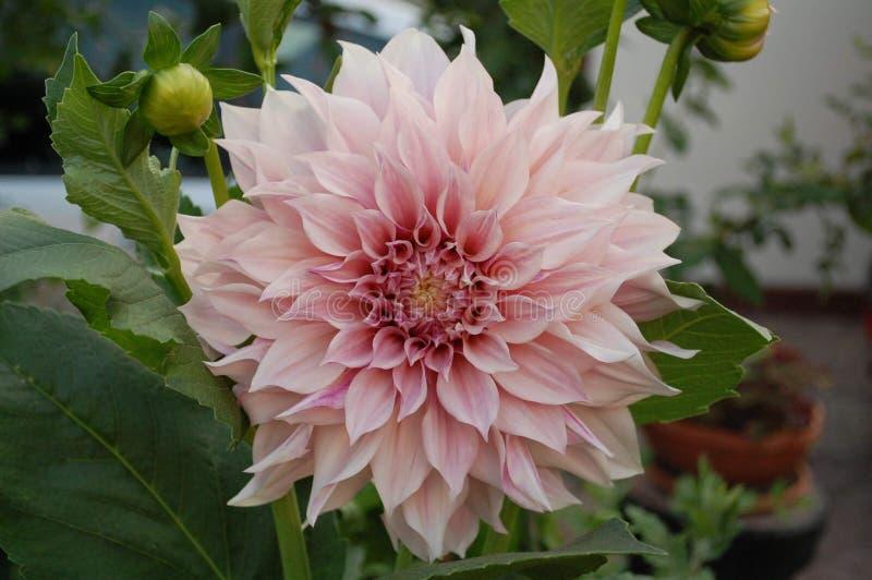 Énorme tête de fleur rose-clair de dahlia photo libre de droits