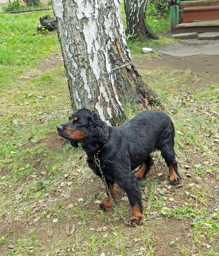 Épagneul de chasse russe de race de chien photos stock
