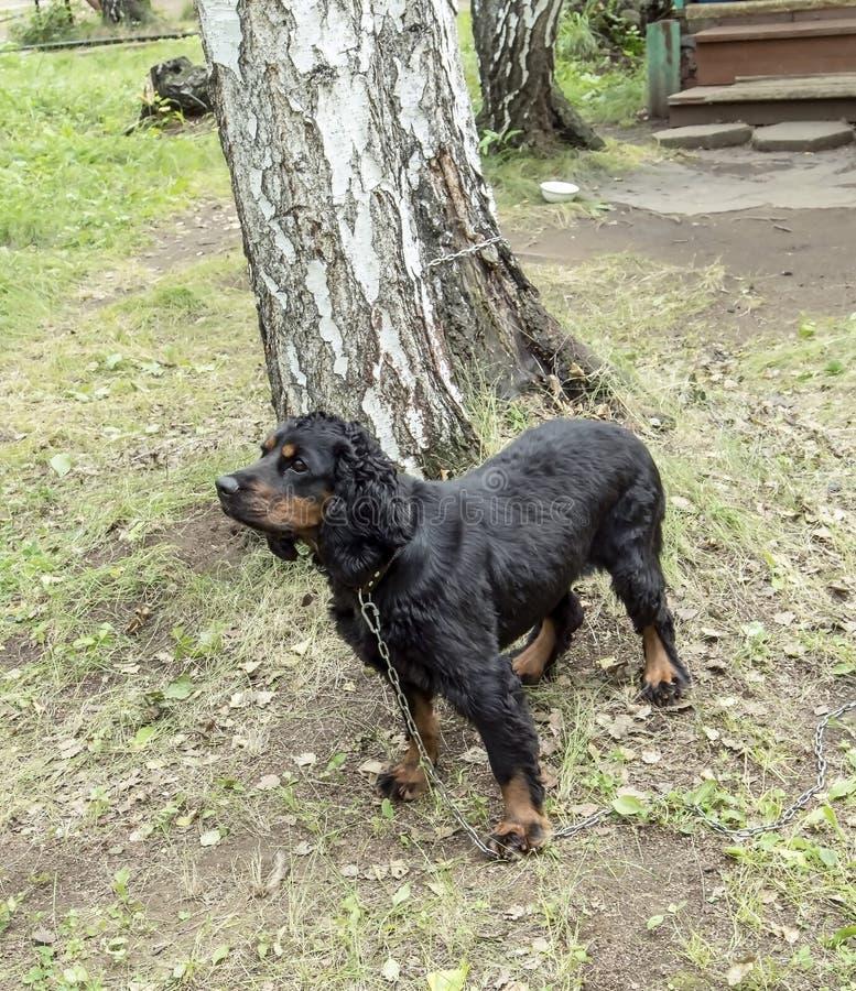 Épagneul de chasse russe de race de chien photo libre de droits