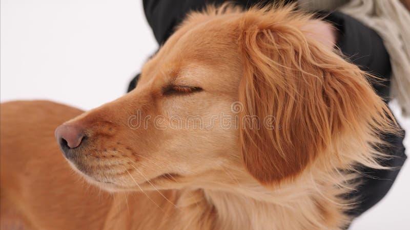 Épagneul de chien de chasse photo stock
