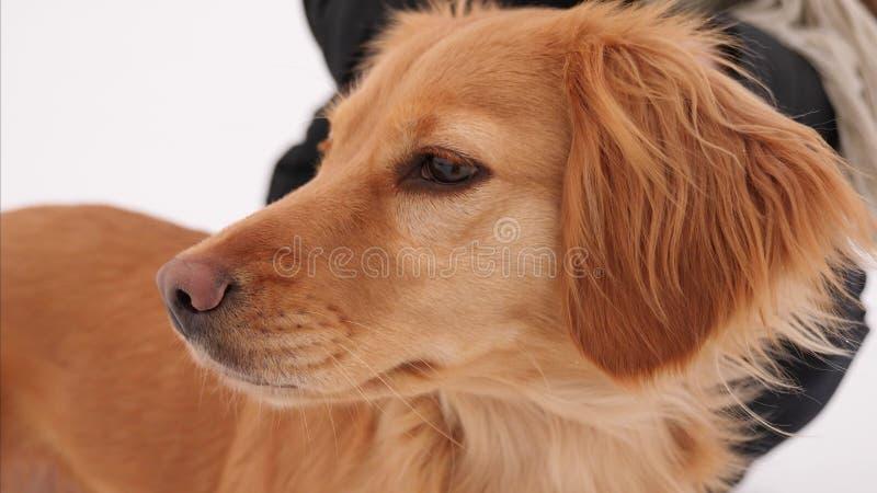 Épagneul de chien de chasse photos libres de droits
