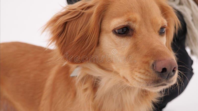 Épagneul de chien de chasse photographie stock libre de droits