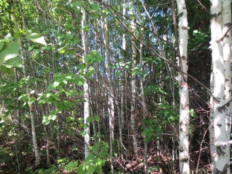 Épais de forêt de bouleaux photos libres de droits