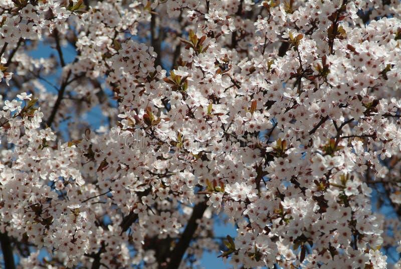 Épanouissement de la cerise Fleurs blanches de cerise images stock