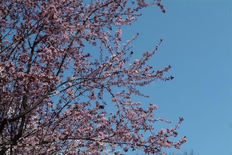 Épanouissement de la cerise Fleurs roses de cerise photos libres de droits