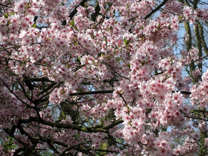 Épanouissement de la cerise Fleurs roses de cerise images libres de droits