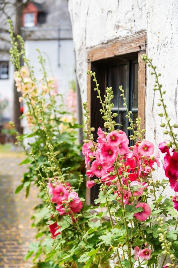 Épanouissez-vous les roses trémière devant une vieille maison de ferme dans un vieux village images stock