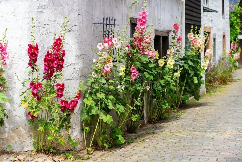 Épanouissez-vous les roses trémière devant une vieille maison de ferme dans un vieux village photographie stock libre de droits