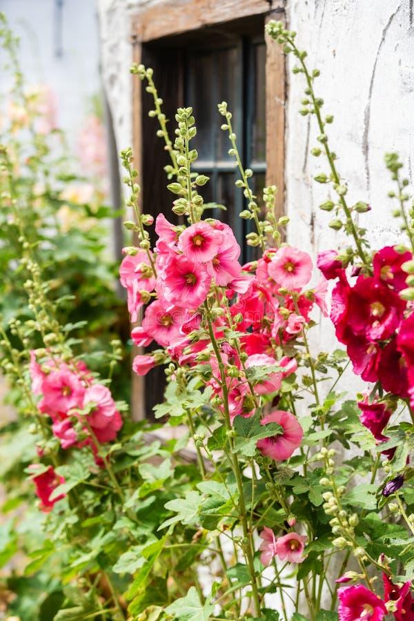 Épanouissez-vous les roses trémière devant une vieille maison de ferme dans un vieux village photos stock