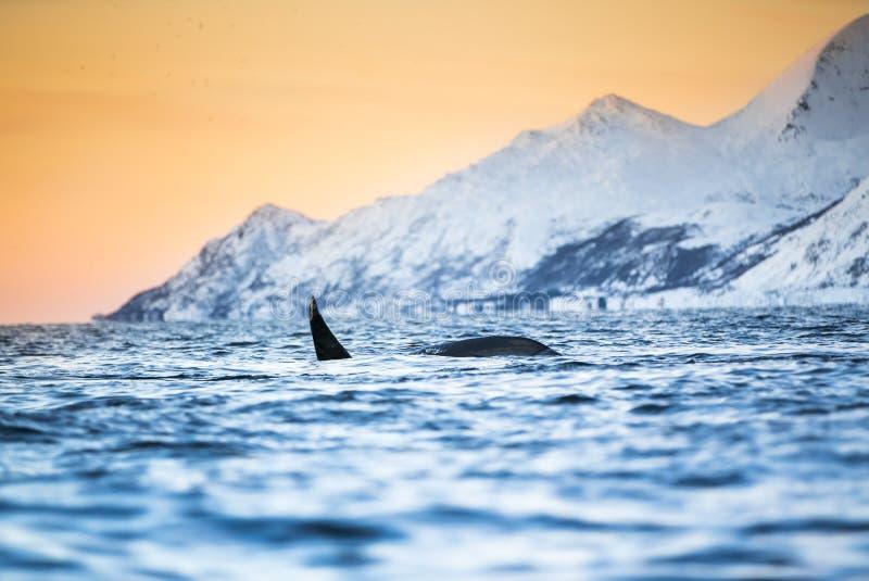 Épaulard sautant de l'eau (orque d'Orcinus) photo stock
