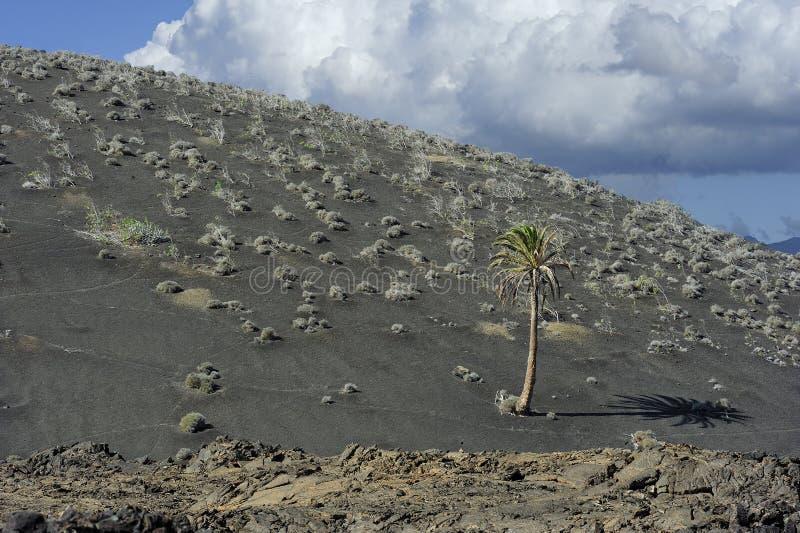 Palmier à la montagne volcanique au parc national de Timanfaya, Lanza photos libres de droits