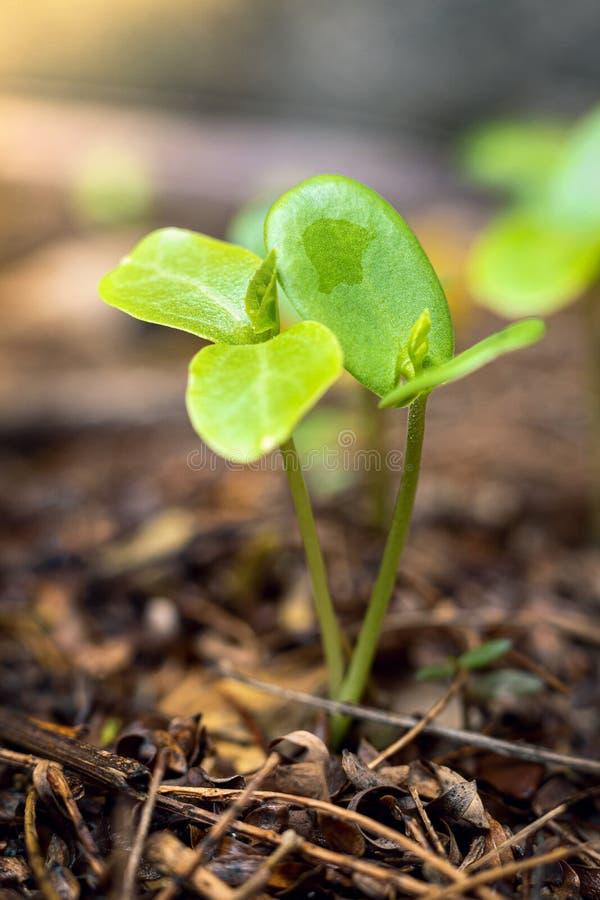 Éperlan vert qui pousse du sol pendant la saison des pluies avec espace de copie pour votre texte images stock
