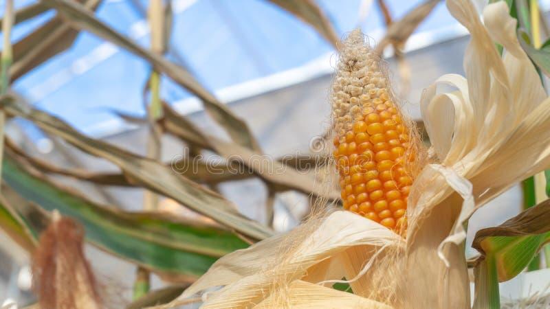Épi de maïs jaune sur une tige de maïs, à l'intérieur, avec les épluchages blancs secs images stock