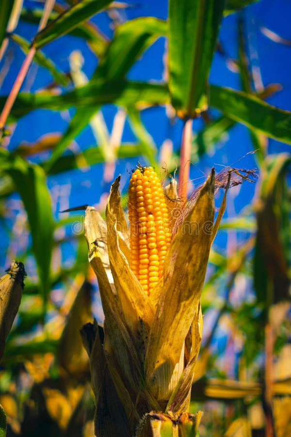 épi jaune mûr de maïs photo stock