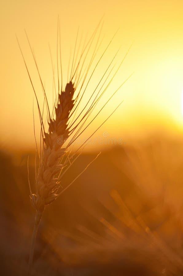 Épice de blé au coucher du soleil images stock