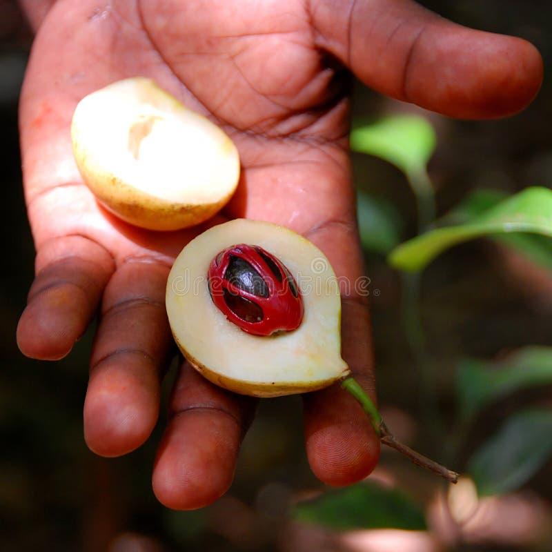 Épice de noix de muscade images libres de droits