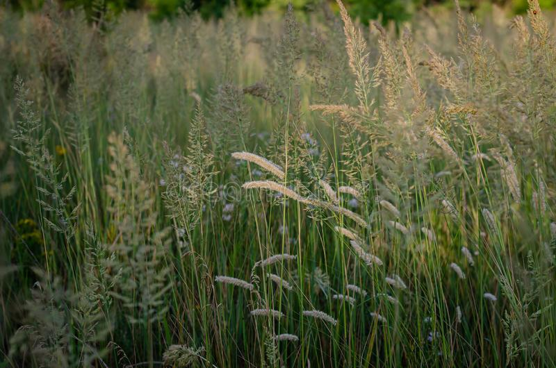 Épillets clairs lumineux à la lumière du soleil de matin sur le fond d'un champ d'été des herbes sauvages Orientation molle image stock