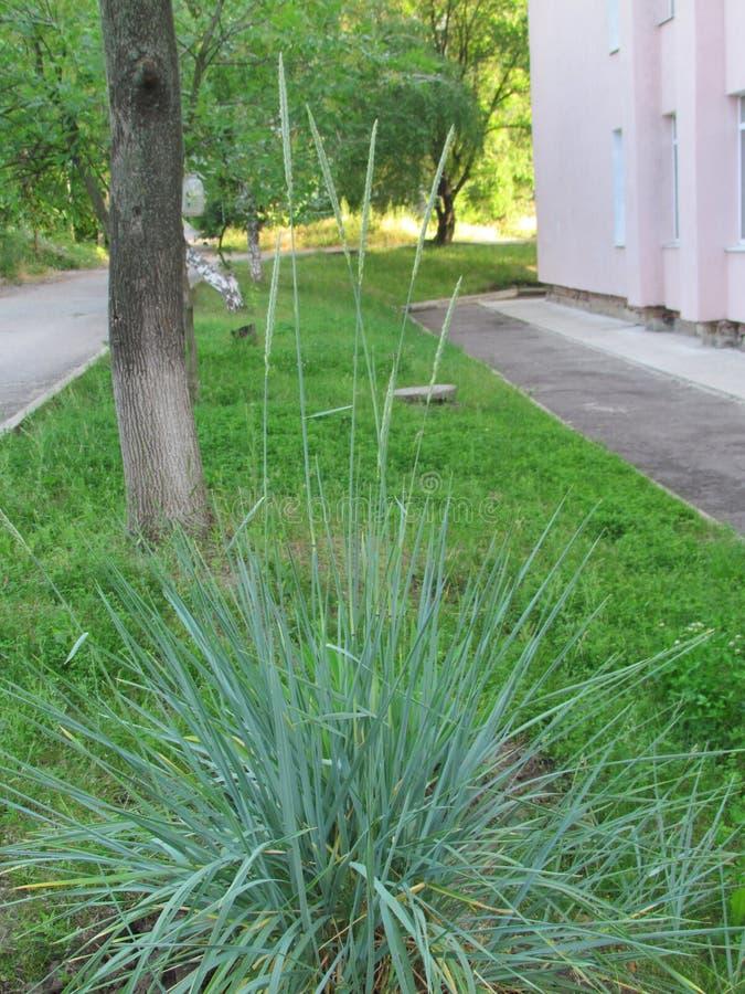 Épillets d'herbe décorative photo stock