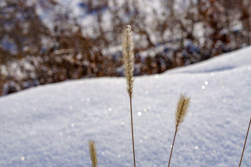 Épillets d'herbe sèche d'hiver dans la neige image stock