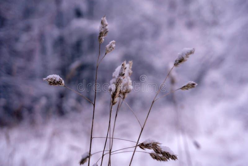 Épillets d'herbe sous la neige photos stock